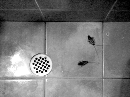 Kakkerlakken in de douche